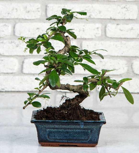 bonsai çiçeği