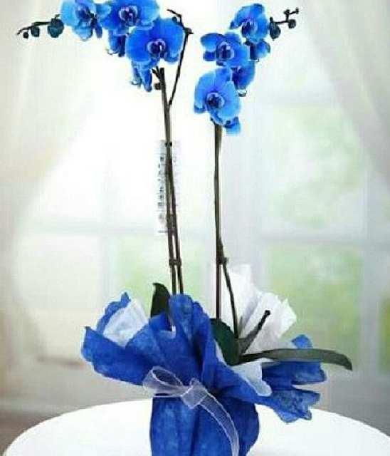 iki dallı mavi orkide