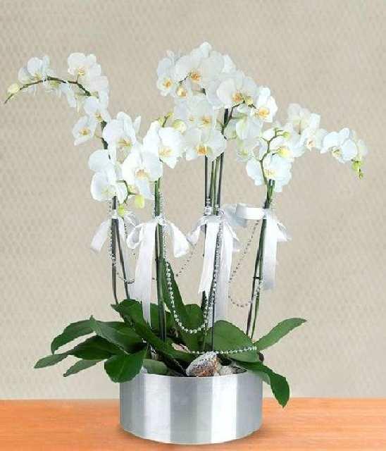 5 dallı beyaz orkide
