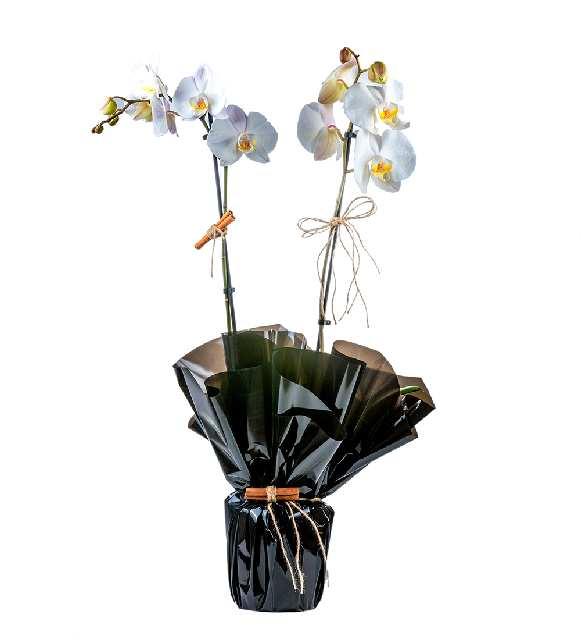 2 Dallı Butik Orkide